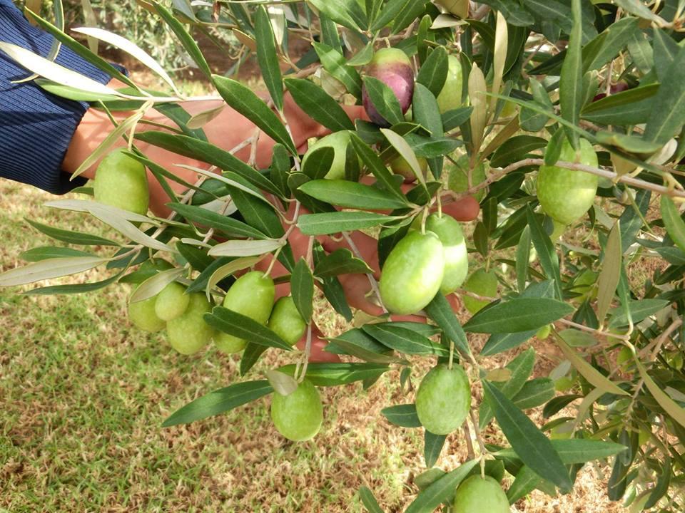 チュニジアオリーブの木